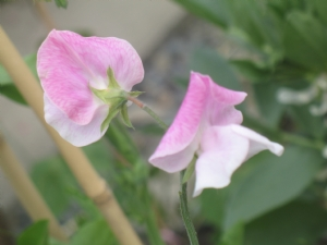 First Sweet pea flower mid summers day