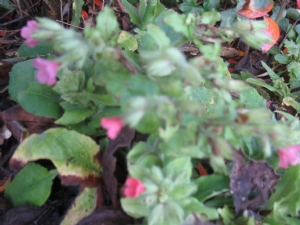 First Pulmonaria to follow