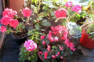 Geraniums etc in Front porch