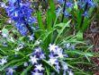 Hyacinth & chionodoxa