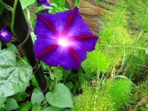 Ipomoea 'Star of Yelta'