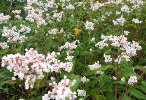 Persicaria campanulata, for Jackie