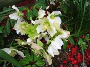 Helleborus niger and chaenomeles petals