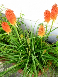 Orange kniphofia