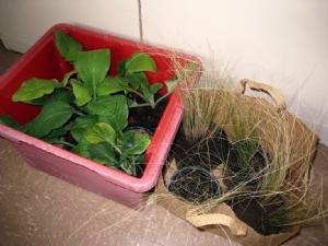 Foxgloves & stipa tenuissima