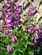 Penstemon 'Bodnant'