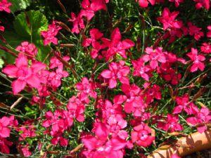 Dianthus deltoides 'Flashing Lights'