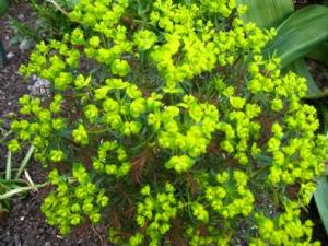 Euphorbia ID please