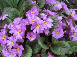 Primula 'Glengarriff'
