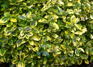 Euonymus 'Emerald n Gold',  for Fran (and others)