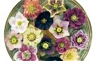 Hellebore collection (from the web)