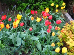Tulips (in the ground) that repeat