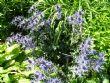 Eryngium alpinum