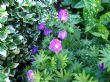 Geranium sanguineum