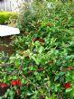 Chaenomeles still in flower