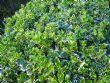 Euonymous 'Emerald Gaiety'