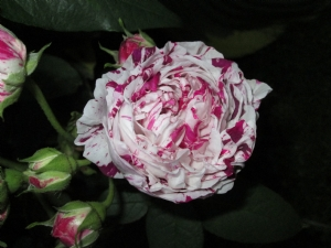 Rose Variegata di Bologna