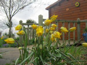 Tulip Sylvestris