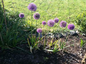 I love ornamental onions - so versatile.
