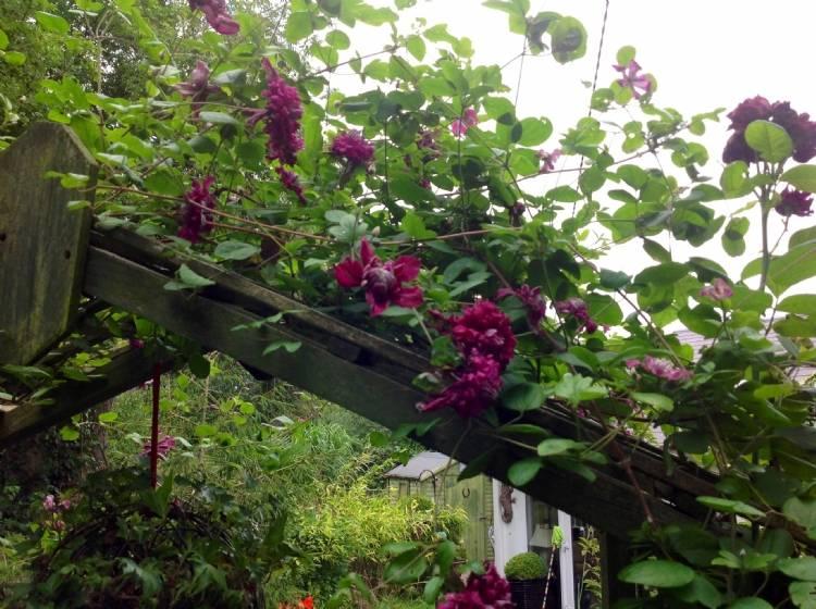 клематис пурпуреа плена элеганс