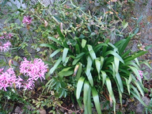 Nerines and leaves of non-flowering Agapanthus