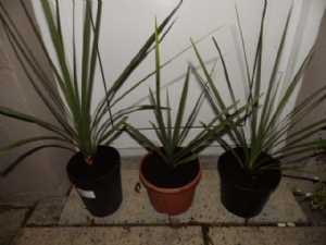 Cordyline By Three