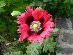 Frilly poppies 1