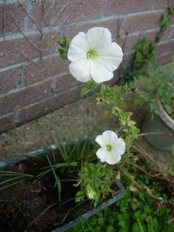 Last year's Petunia