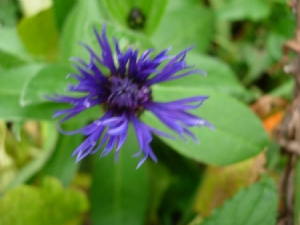 Cornflower out of season