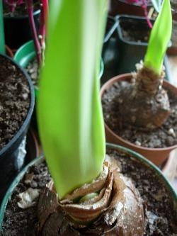 Amaryllis sprouting