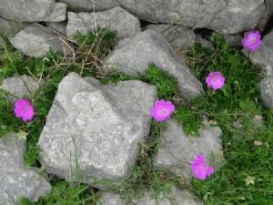 Inis Meáin flowers