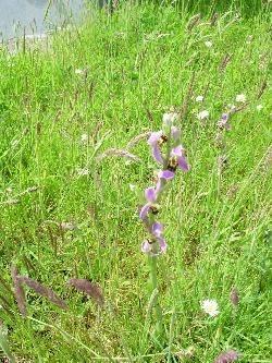 Burren orchid