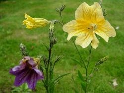 Salpiglossis, lost and found!