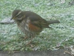 Redwing spotted