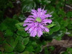At last -- Monarda flowers