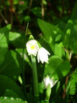 Leucojum in flower!