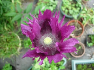 Darker frilly poppy