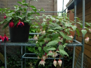 Two free Fuchsias doing well