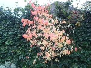 spindle bush