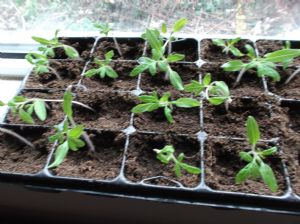 Tomatoes Potted up