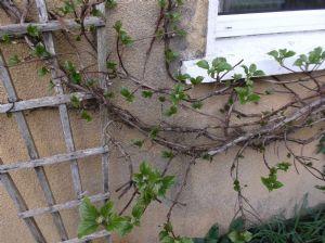 Hydrangea climbing type