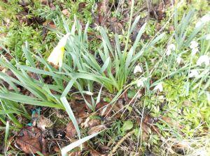 Snowdrops & Daffodil