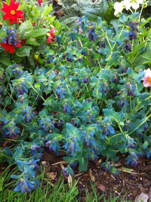 Cerinthe major 'Purpurascens