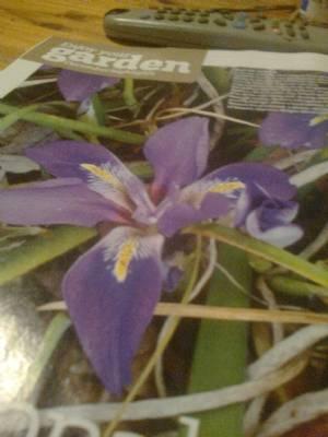 allgerian iris ( iris unguicularis)
