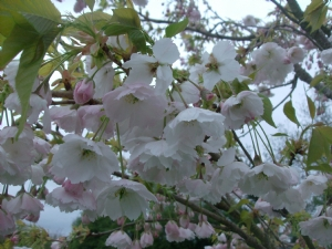 Prunus.White cherry blossom.Name unknown.