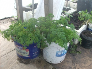 Parsley in tunnel