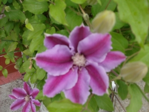 Clematis at the front door begins to appear for 2010.