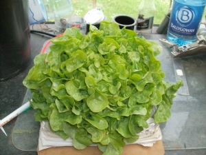 Home grown Lettuce [Lactuca sativa] for tea later.