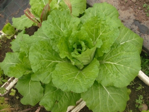 Chinese cabbage 2009.