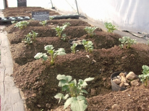 Polytunnell potatoes planted on the 14/3/09.